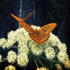 لعبة ترتيب صورة الفراشة